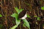 Tanaecia lepidea 07238.JPG