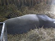 A juvenile tapir, still with dappled markings, asleep behind its parent
