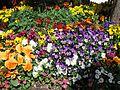 Teignmouth Blooms Again - 8 - Flickr - Sir Hectimere.jpg