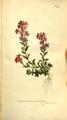 The Botanical Magazine, Plate 310 (Volume 9, 1795).png