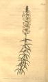The Botanical Magazine, Plate 483 (Volume 14, 1800).png