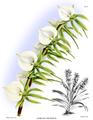 The Orchid Album-01-0125-0041-Angraecum eburneum.png