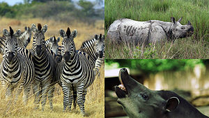 Odd-toed ungulate - Clockwise from left: plains zebra (Equus quagga), Indian rhinoceros (Rhinoceros unicornis) and South American tapir (Tapirus terrestris)
