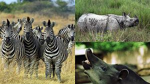 Odd-toed ungulate - Clockwise from left: plains zebra (Equus quagga), Indian rhinoceros (Rhinoceros unicornis) and South American tapir (Tapirus terrestris)