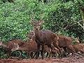 The sighting of a group of Bawean Deer (Axis kuhli) is an endemic fauna on Bawean Island. 01.jpg