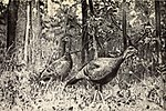 The wild turkey and its hunting (1914) (14778868485).jpg