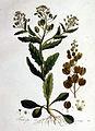 Thlaspi arvense — Flora Batava — Volume v1.jpg