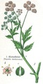 Thorilis anthriscus.tif
