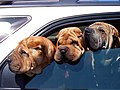 Three shar pei's in los osos, california..jpg