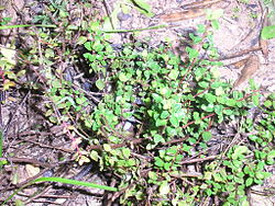 Thymus piperella.JPG