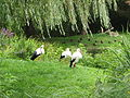 Tierpark Essehof - White storks.Jpg