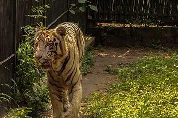 Tiger in the Delhi Zoo.jpg