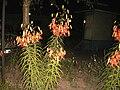Tiger lilia at night.JPG