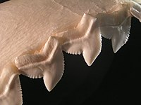 Close up of shark teeth showing serrations.
