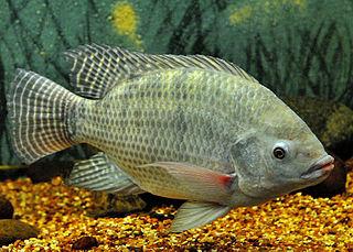 Nile tilapia species of fish