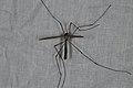 Tipula paludosa (36643101521).jpg