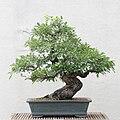 Toringo Crabapple bonsai 20, 2011-05-29.jpg
