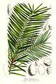 Torreya californica - Lemaire.jpg
