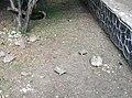Tortoises - Arusha botanical gardens.jpg