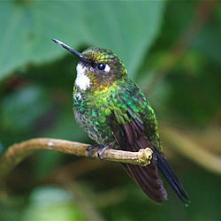 Tourmaline Sunangel (female).jpg