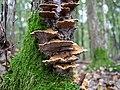 Trametes versicolor in the Spandauer Forst 02.jpg
