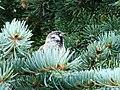 Tree Sparrow-Mindaugas Urbonas-5.jpg