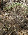 Tree spurge - panoramio - macrolepis.jpg