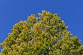 Tree tops by Avon River at Manchester St, Christchurch, New Zealand.jpg