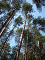 Trees in woods, Czech republic.jpg