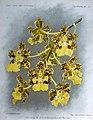 Trichocentrum cavendishianum.jpg