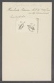 Trichoda prisma - - Print - Iconographia Zoologica - Special Collections University of Amsterdam - UBAINV0274 113 24 0003.tif