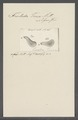 Trichoda tinea - - Print - Iconographia Zoologica - Special Collections University of Amsterdam - UBAINV0274 113 15 0029.tif