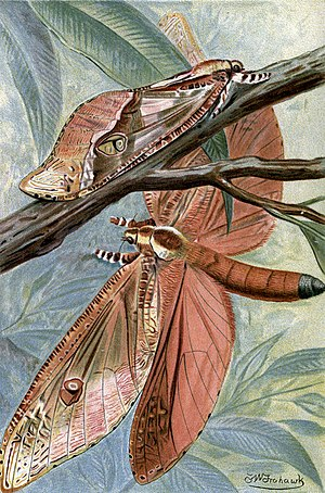 Trictena atripalpis