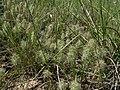 Trifolium angustifolium habit2 (10619926836).jpg