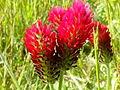 Trifolium incarnatum 002.jpg