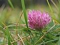 Trifolium pratense, Hnědý vrch.jpg