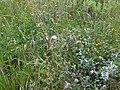 Trifolium pratense wetland 4.jpg