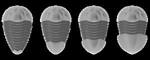 Pygidium - Image: Trilobite Pygidia types