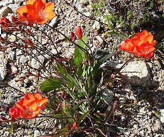 <i>Tritonia</i> (plant) genus of plants