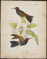 Trochilus rhami - 1820-1860 - Print - Iconographia Zoologica - Special Collections University of Amsterdam - UBA01 IZ19100339.tif