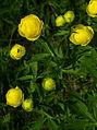 Trollius europaeus - flowers 01.jpg