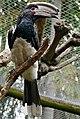 Trumpeter Hornbill (Bycanistes bucinator) male captive ... (32861014451).jpg