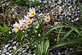 Tulipa saxatilis 'Lilac Wonder' at RHS Garden Hyde Hall, Dry Garden - Essex, England 02.jpg