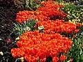 Tulips-6693.jpg