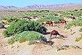 Tunisia-3637 - Seem to be roaming free.... (7847608596).jpg