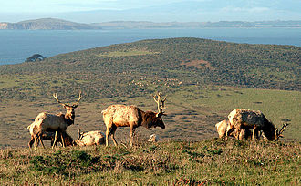 Point Reyes National Seashore - Tule Elk at Tomales Point
