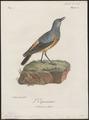 Turdus explorator - 1796-1808 - Print - Iconographia Zoologica - Special Collections University of Amsterdam - UBA01 IZ16300299.tif