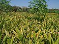 Turmeric field visit.jpg