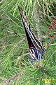 Two-tailed pasha (w. of Volimes) (35526109710).jpg
