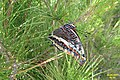 Two-tailed pasha (w. of Volimes) (35873643646).jpg